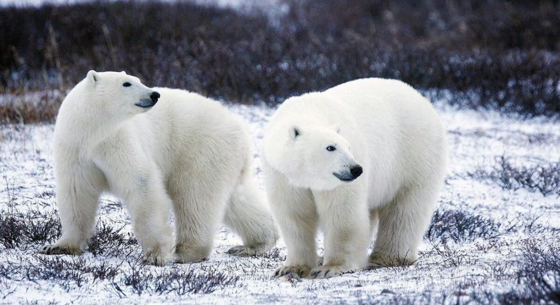The Great Ice Bear Adventure – Manitoba, Canada