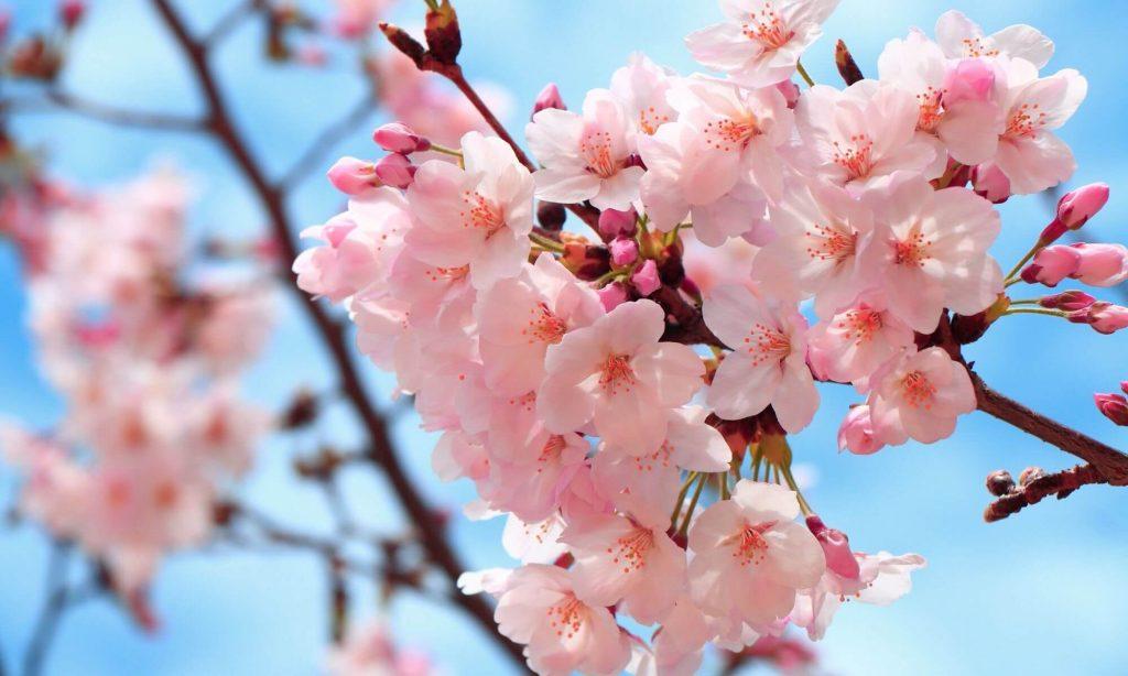 The Ultimate Guide to Sakura – Cherry Blossom Season