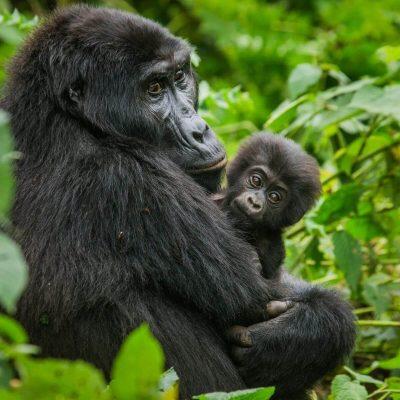 Uganda Tailored Tour – 4 Days Gorilla Safari & Batwa Pygmies
