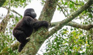 Uganda Tailored Tour – Gorilla Trekking Safari & Batwa Pygmies - Black Platinum Gold